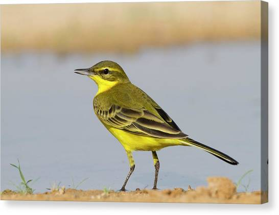 Negev Desert Canvas Print - Western Yellow Wagtail (motacilla Flava) by Photostock-israel