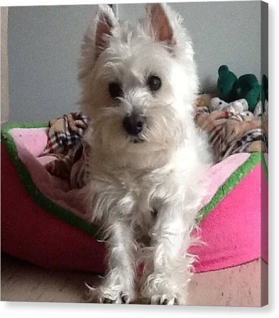 Scouting Canvas Print - #westie #scout #dog by Kelly Hasenoehrl