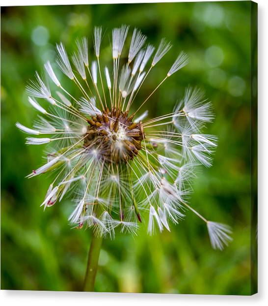 Canvas Print featuring the photograph Wet Dandelion. by Gary Gillette