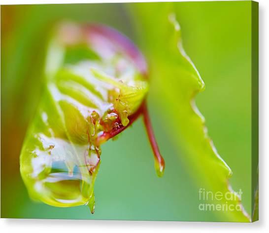 Wet Grape Leaf  Canvas Print