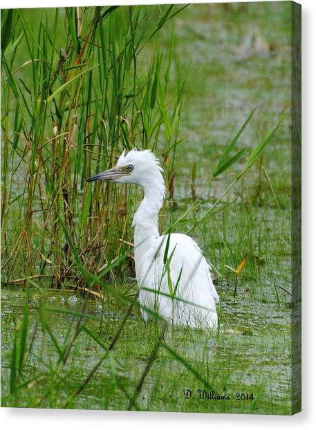 Wet Juvenile Little Blue Heron Canvas Print