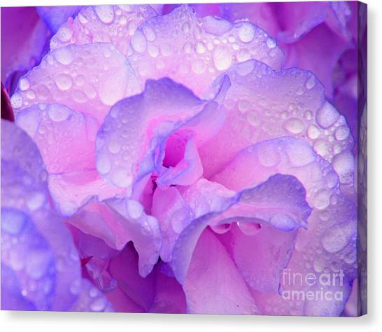 Wet Rose In Pink And Violet Canvas Print
