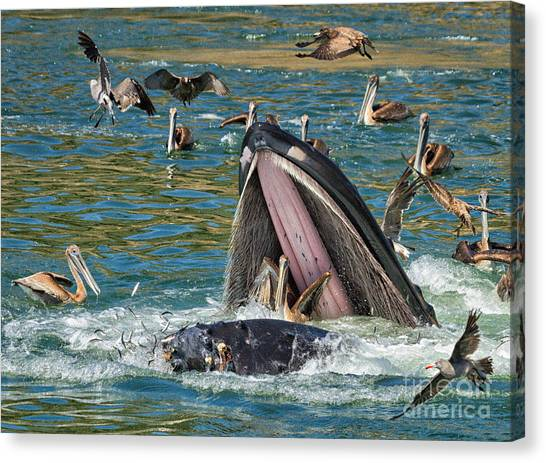 Whale Almost Eating A Pelican Canvas Print