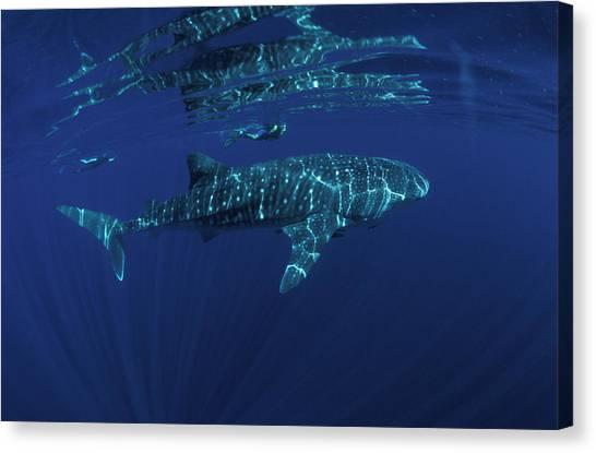 Snorkling Canvas Print - Whale Shark And Snorkler, Rhincodon by Jurgen Freund