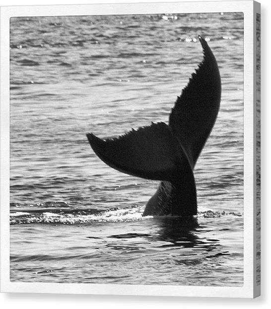 Whales Canvas Print - Whale #whale #whalewatching #maine by Shawn Baker