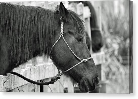 What A Horse Canvas Print