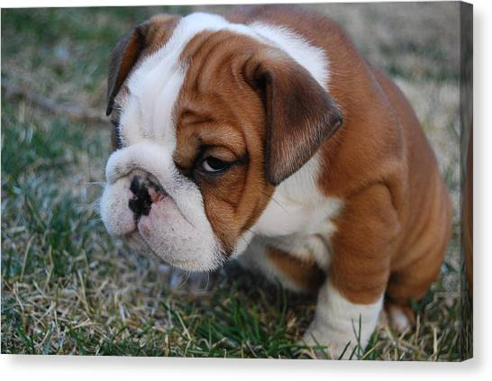 English Bull Dogs Canvas Print - What Are You Looking At by Jennifer Chory