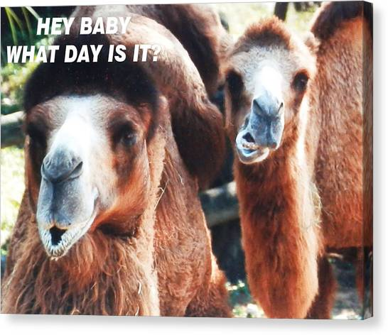 Camel What Day Is It? Canvas Print