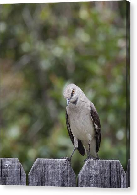 Mockingbird Canvas Print - What Did You Say? by David and Carol Kelly