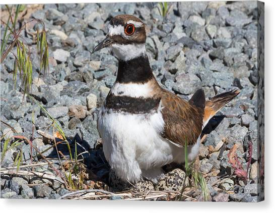 Killdeer Canvas Print - What Eggs? by Kathleen Bishop