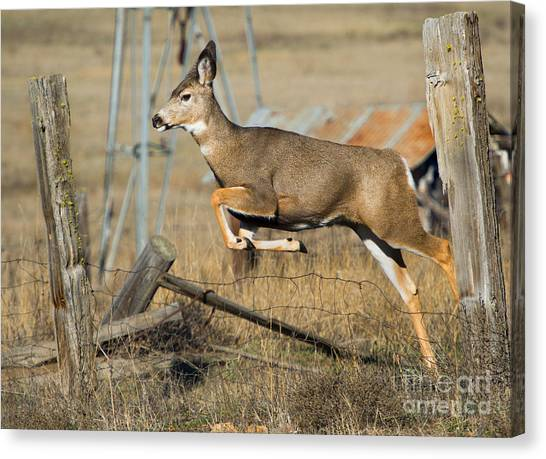 White-tailed Deer Canvas Print - What Fence by Mike  Dawson