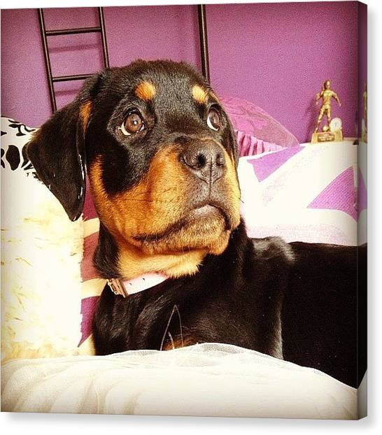 Rottweilers Canvas Print - What You Thinking About Rox? #rottie by Charlotte Turville