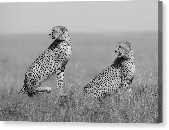 Cheetahs Canvas Print - What's Going On Here Around? by Marco Pozzi