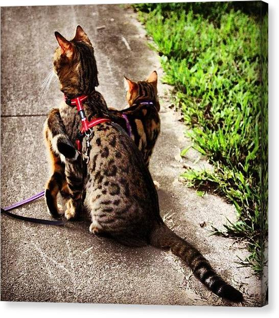 Bengals Canvas Print - What's So Interesting? #bengal by Lana Houlihan