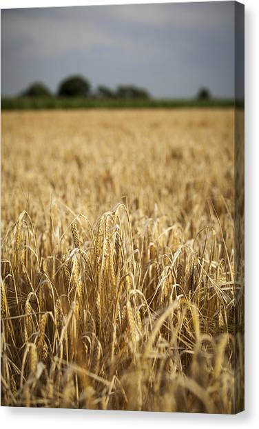 Corn Canvas Print - Wheat Field by Samuel Whitton