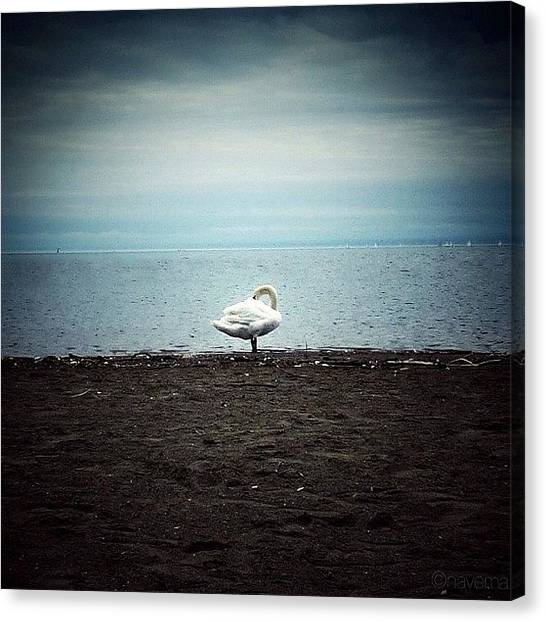 Swans Canvas Print - when I Am Alone I Can Become by Natasha Marco