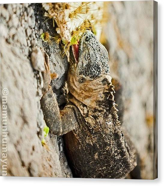 Iguanas Canvas Print - Whilst Walking Around And Soaking It by M H
