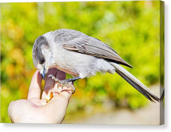 Whiskey Jack Or Gray Jay Eating Nuts From A Hand Canvas Print