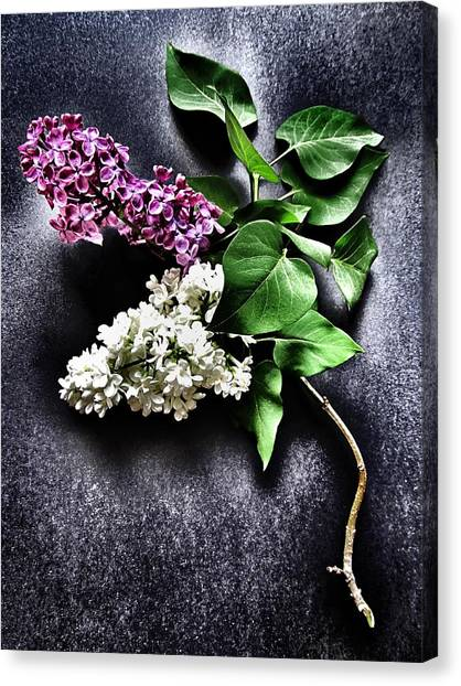 Lilac Bush Canvas Print - White And Purple Lilacs by Marianna Mills