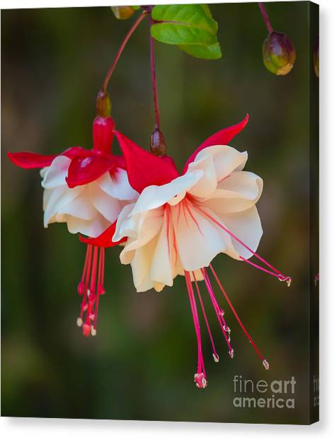 White And Red Fuchsia Canvas Print