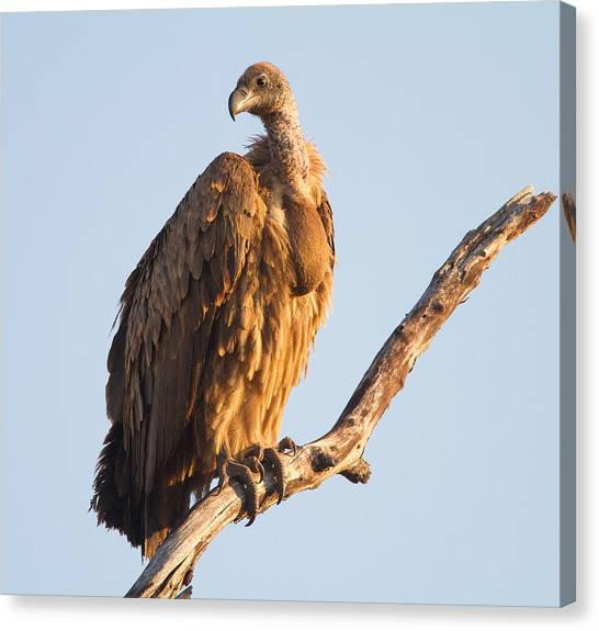 White Backed Vulture Canvas Print by Craig Brown