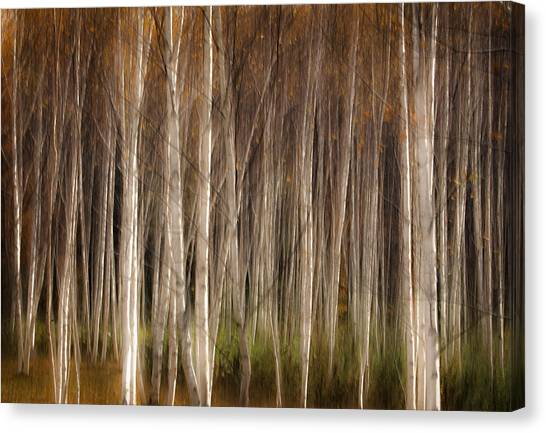 White Birch Abstract Canvas Print