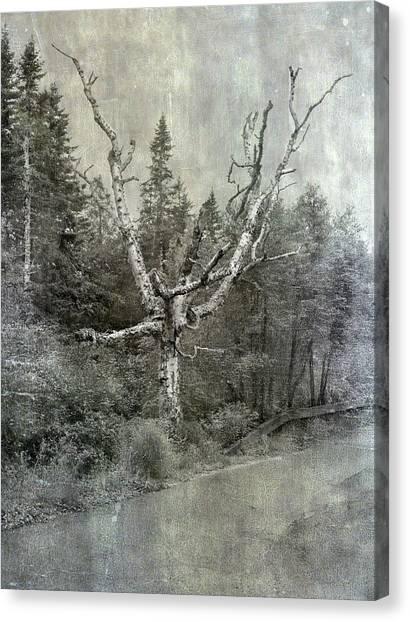 White Birch Last Statement  Canvas Print