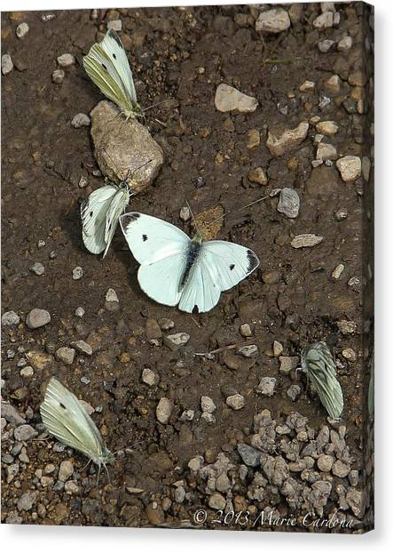 White Cabbage Butterflies Canvas Print by Marie  Cardona