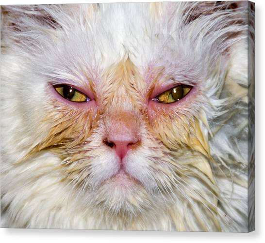 Scary White Cat Canvas Print