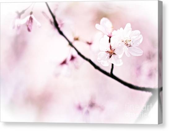 White Cherry Blossoms In The Sunlight Canvas Print