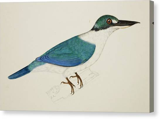 Kingfisher Canvas Print - White-collared Kingfisher by British Library