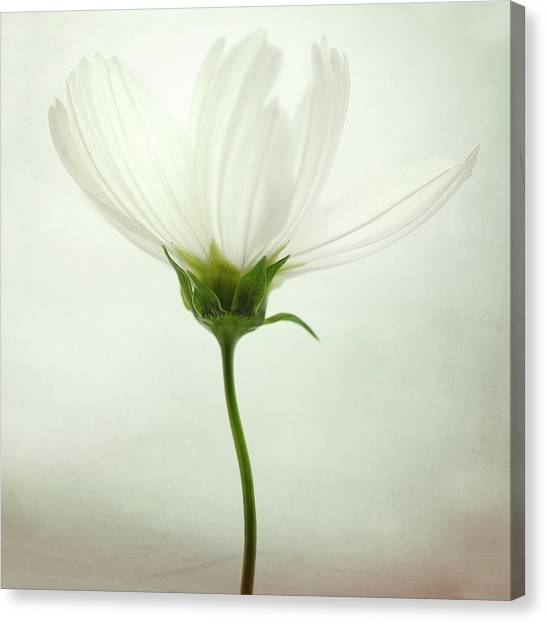 Bright Canvas Print - White Cosmos by Lotte Gr?nkj?r
