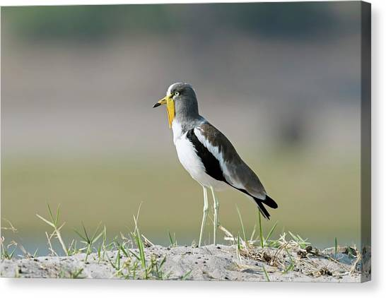 Lapwing Canvas Print - White-crowned Lapwing by Tony Camacho/science Photo Library