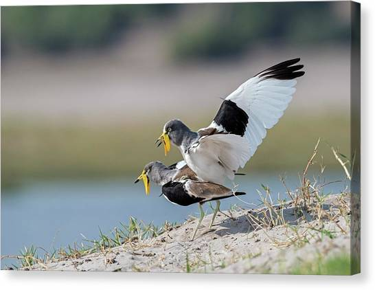 Lapwing Canvas Print - White-crowned Lapwings Mating by Tony Camacho/science Photo Library