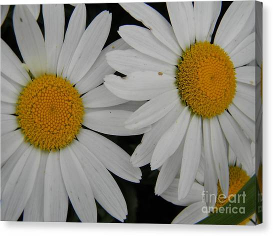 White Daisy In Full Bloom Canvas Print