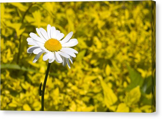 White Daisy In Yellow Garden Canvas Print