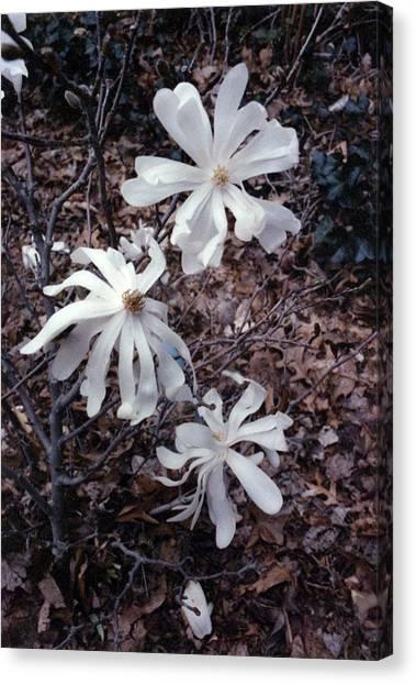 White Magnolia Stellata Canvas Print
