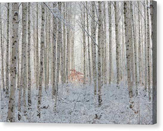 Birch Canvas Print - White by Donghee, Han
