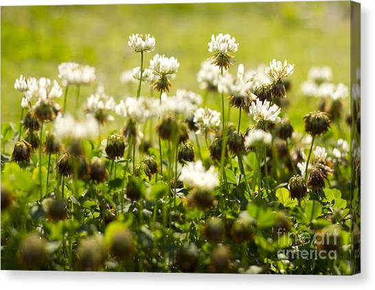 White Dutch Clover Wild Plants In The Sunshine Canvas Print