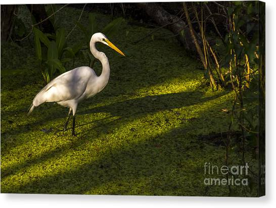 Egrets Canvas Print - White Egret by Marvin Spates