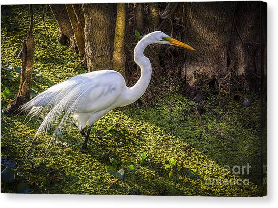 Florida Swamp Canvas Print - White Egret On The Hunt by Marvin Spates
