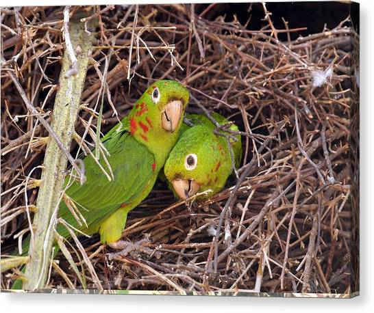 White-eyed Parakeets Nesting Canvas Print by Science Photo Library