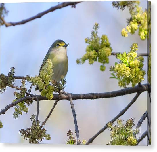 White-eyed Vireo Canvas Print