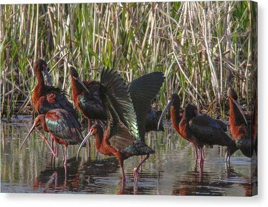 White-faced Ibis  Canvas Print by Jill Bell