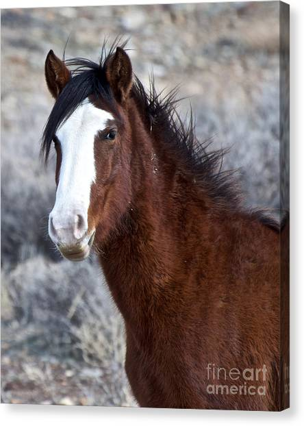 White-faced Mustang In December V Canvas Print