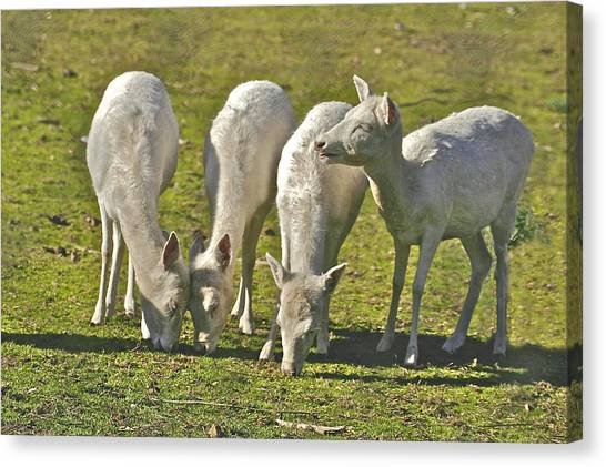 White Fallow Deer Mt Madonna County Park Canvas Print
