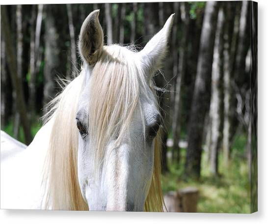 Canvas Print featuring the photograph White Horse Close Up by Jocelyn Friis