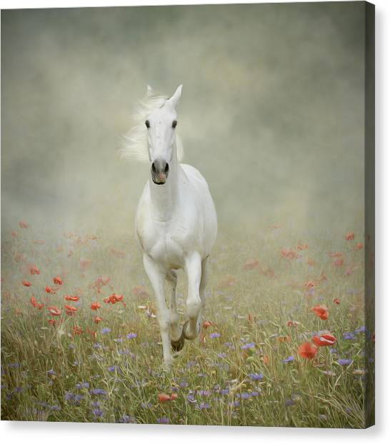 White Horse Running Through Poppies Canvas Print by Christiana Stawski
