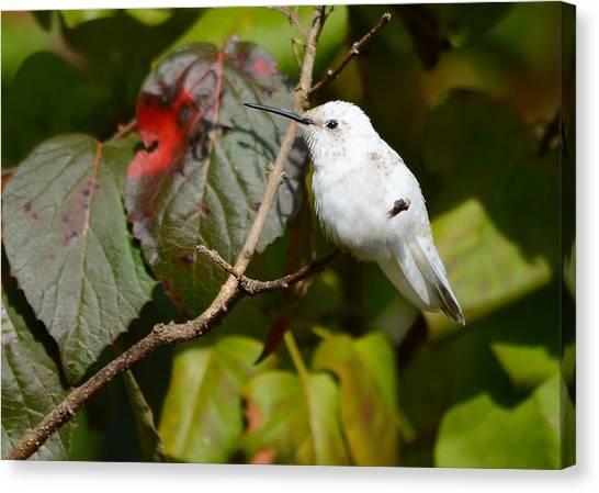White Hummingbird Canvas Print