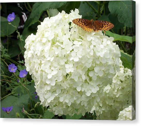White Hydrangea With Butterfly Canvas Print